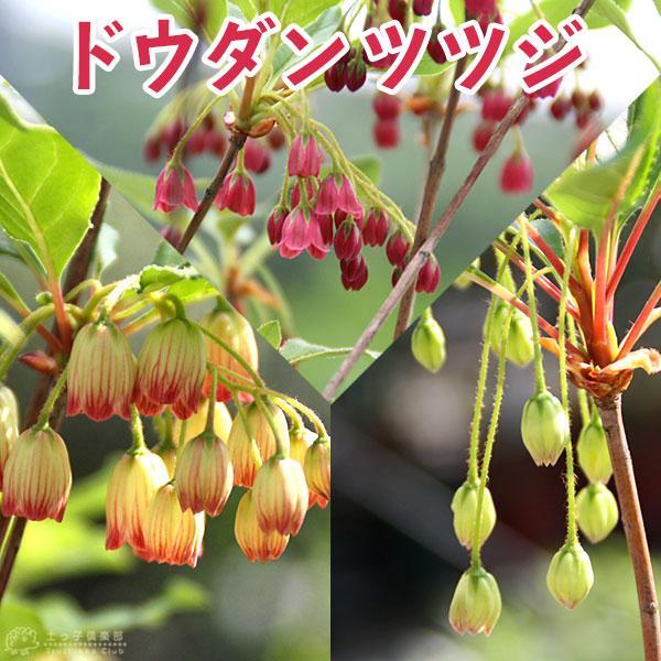 ドウダンツツジ( 岩しだれ / 口紅更紗 / 黄花 / 柳葉紅 )9cmポット苗  選べる品種(サラサドウダン)|produce87