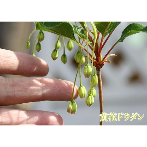 ドウダンツツジ( 岩しだれ / 口紅更紗 / 黄花 / 柳葉紅 )9cmポット苗  選べる品種(サラサドウダン)|produce87|05