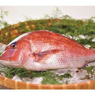 【送料無料】【仮屋漁業組合】仮屋湾の真鯛(1.5キロ)|qtsuhanshop
