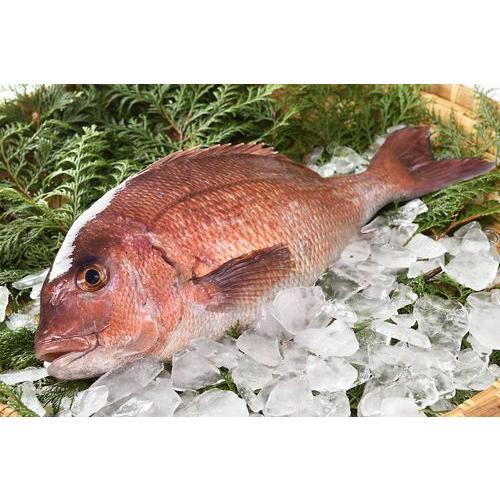 【送料無料】【仮屋漁業組合】仮屋湾の真鯛(1.5キロ)|qtsuhanshop|03