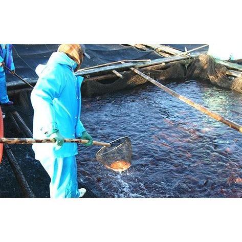 【送料無料】【仮屋漁業組合】仮屋湾の真鯛(1.5キロ)|qtsuhanshop|04