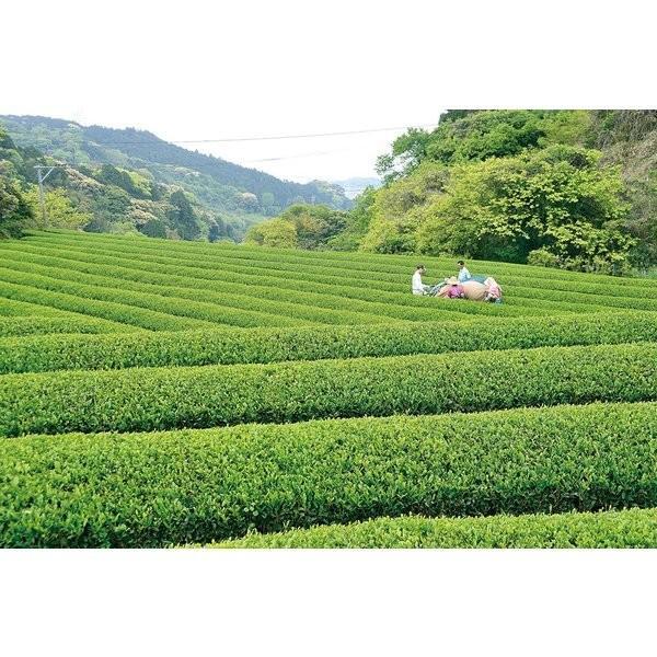 上煎茶(3袋入り)|qtsuhanshop|02