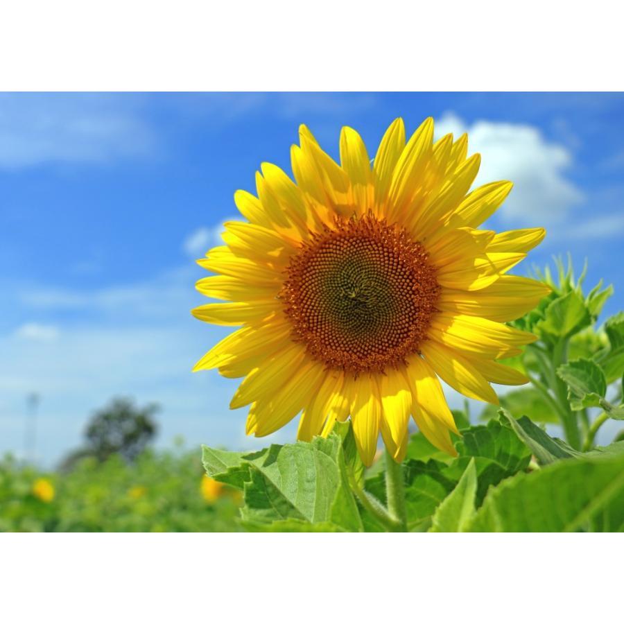 絵画風 壁紙ポスター ひまわり畑 向日葵 ヒマワリ 太陽の花 サン