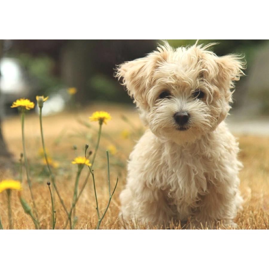 絵画風 壁紙ポスター ヨークシャテリア 子犬 ペット イヌ ドッグ 犬