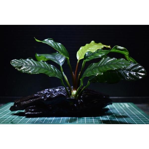 【1点物】アヌビアス付き流木 コーヒーフォリア|redfairy