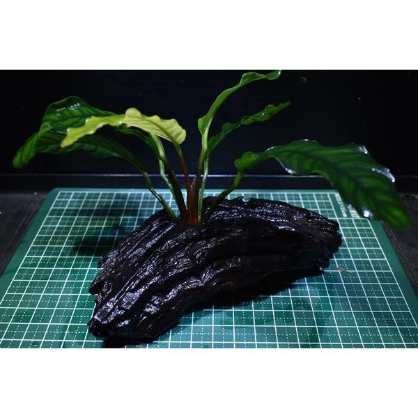 【1点物】アヌビアス付き流木 コーヒーフォリア|redfairy|03