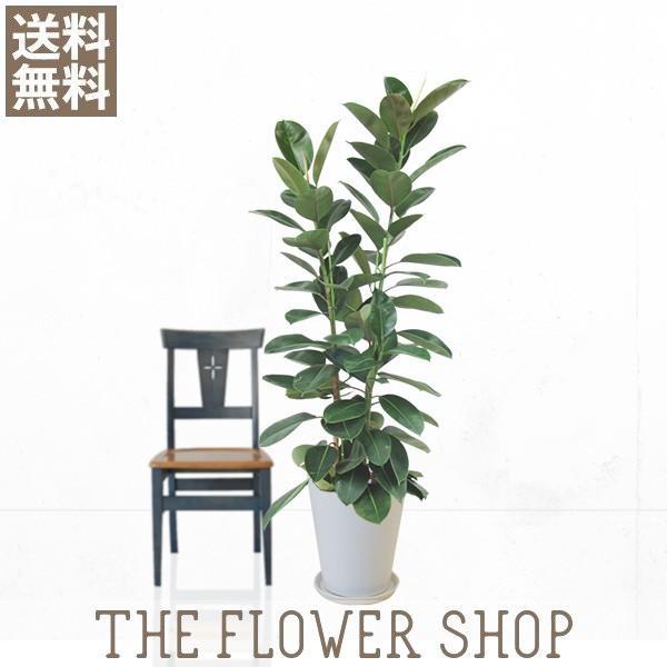 観葉植物 おしゃれ フィカス・ロブスター 高さ:約150〜170cm 陶器鉢 ricochet-petit