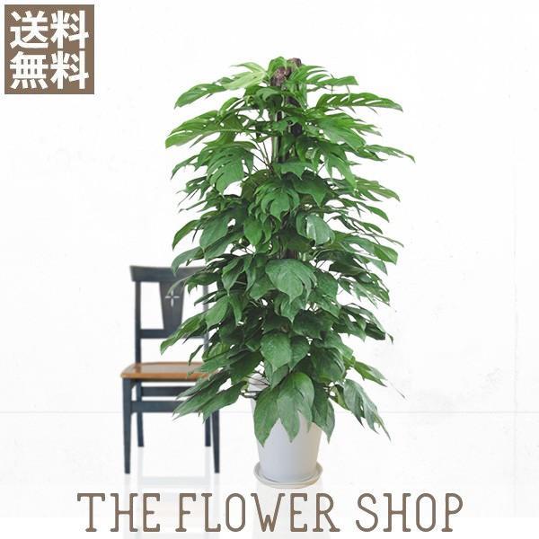 観葉植物 おしゃれ マングーカズラ 高さ:約150〜170cm 陶器鉢 ricochet-petit