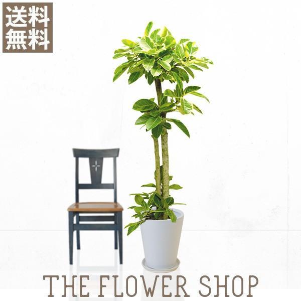 観葉植物 おしゃれ アルテシマゴム 高さ:約150〜170cm 陶器鉢|ricochet-petit