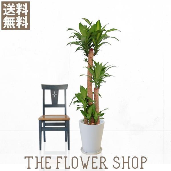 観葉植物 おしゃれ マッサン(幸福の木) 高さ:約150〜170cm 陶器鉢 ricochet-petit