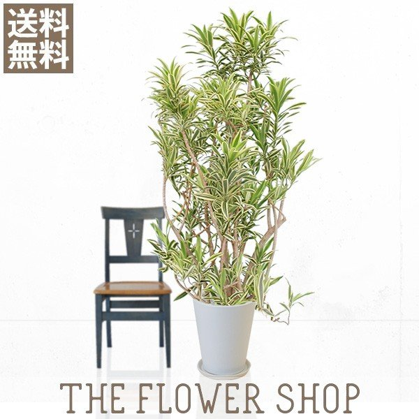 観葉植物 おしゃれ ソングオブインディオ 高さ:約150〜170cm 陶器鉢 ricochet-petit