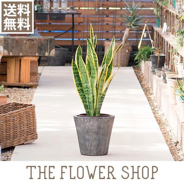 観葉植物 おしゃれ サンスベリア 高さ:約80〜100cm [陶器鉢]|ricochet-petit