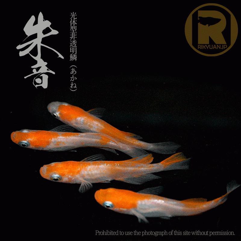 成魚 メダカ