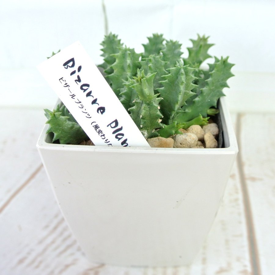 ビザールプランツ 珍奇な植物 ゼブリナ 3.5号鉢 Huernia zebrina|rose-factory