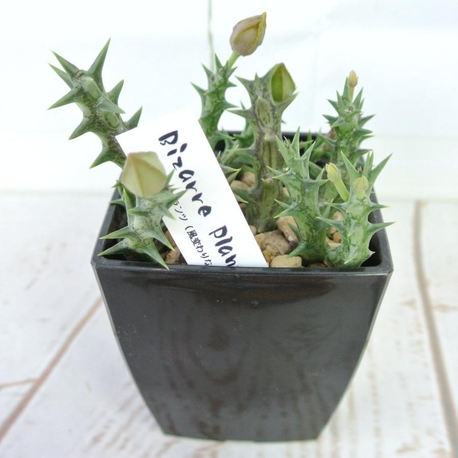 ビザールプランツ 珍奇な植物 デュメリィ 3.5号鉢 Orbea dummeri rose-factory