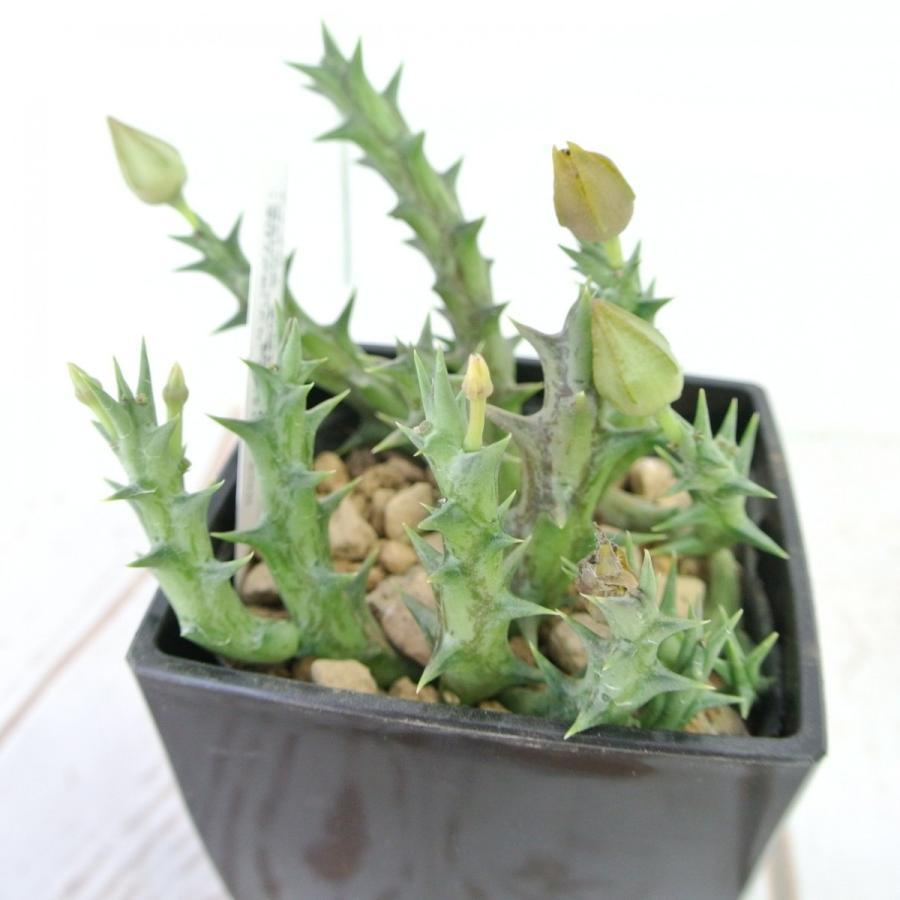 ビザールプランツ 珍奇な植物 デュメリィ 3.5号鉢 Orbea dummeri rose-factory 02