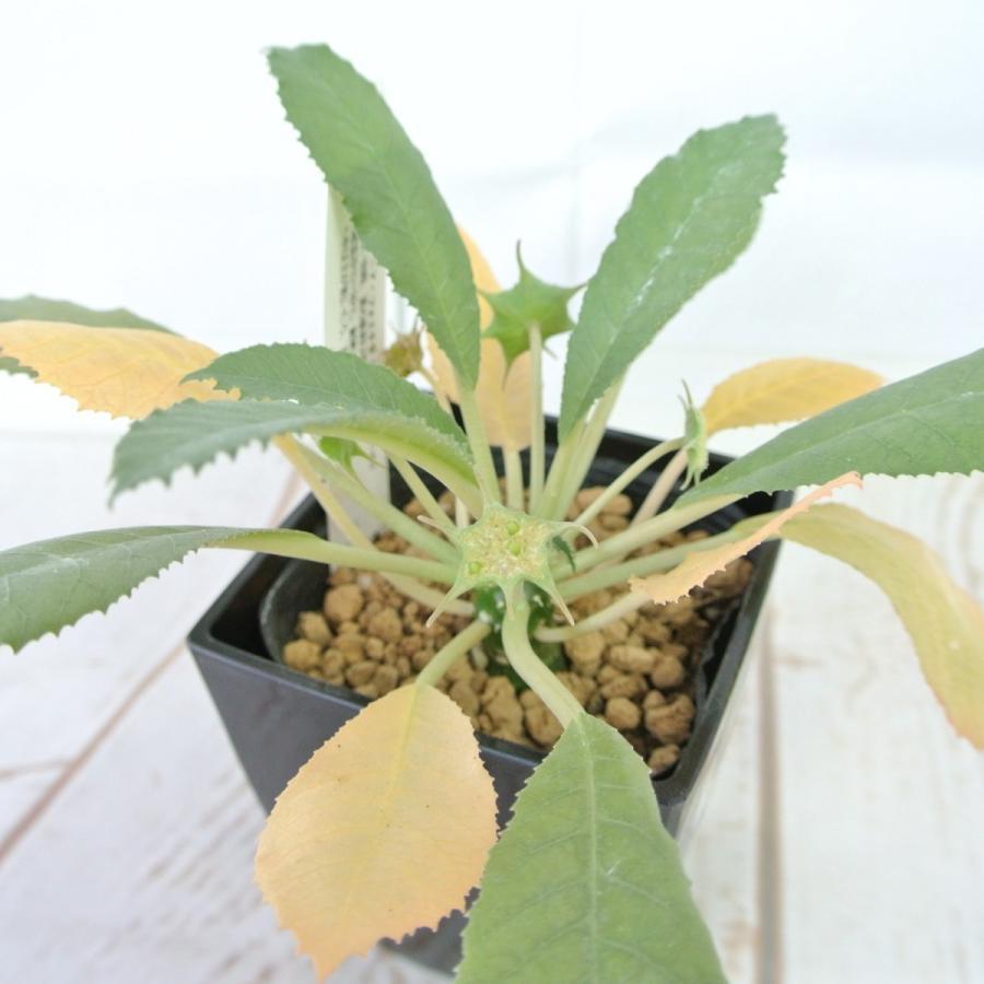 ビザールプランツ 珍奇な植物 ドルステニア フォエチダ 3.5号鉢 Dorstenia foetida|rose-factory|02