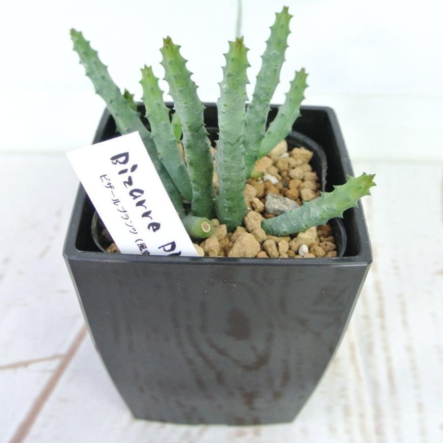 ビザールプランツ 珍奇な植物 ペンデュラ 3.5号鉢 Huernia pendula|rose-factory