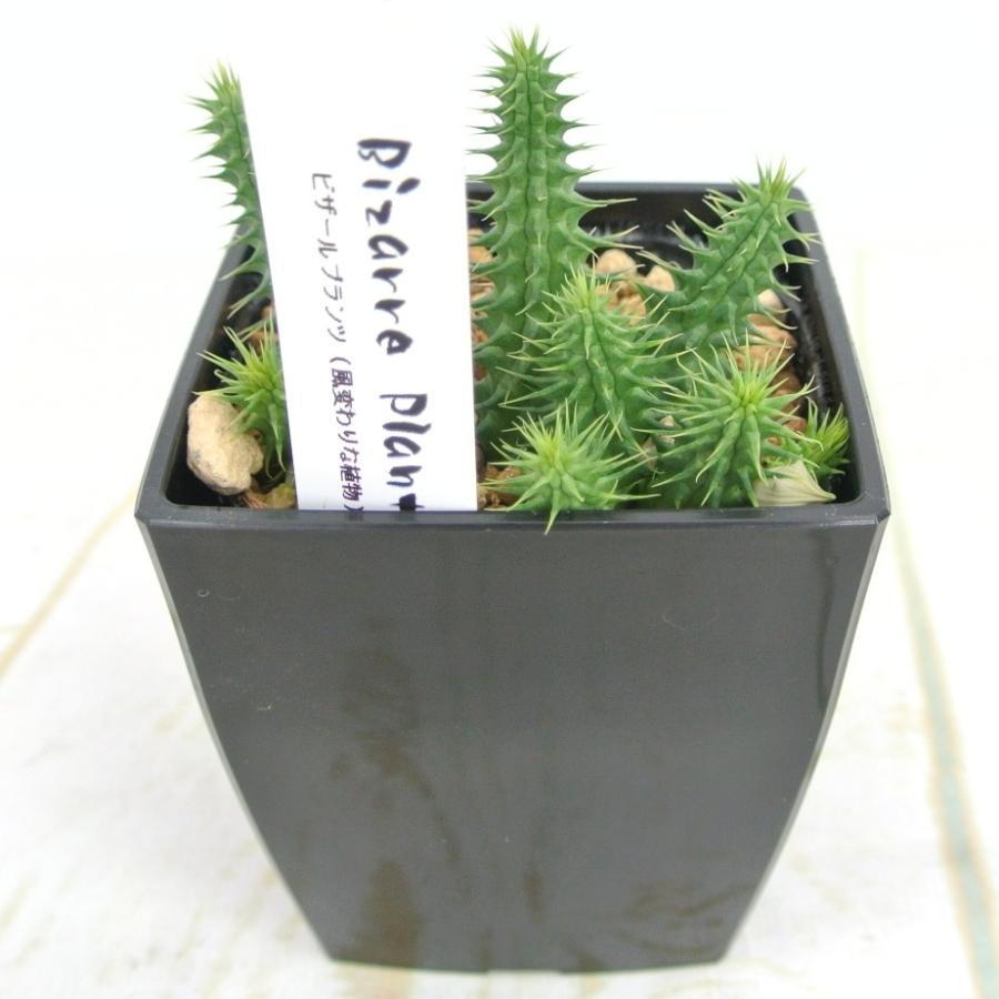 ビザールプランツ 珍奇な植物 フェルニア ピランシー 3.5号鉢 Huernia Pillansii 多肉植物|rose-factory
