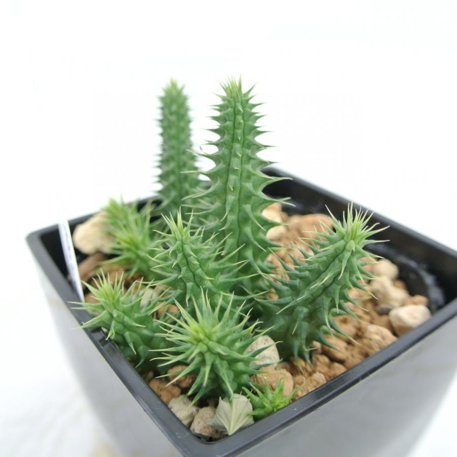 ビザールプランツ 珍奇な植物 フェルニア ピランシー 3.5号鉢 Huernia Pillansii 多肉植物|rose-factory|04