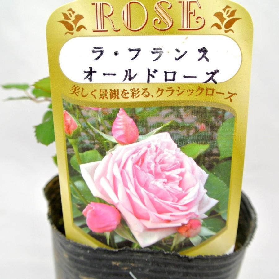 バラ苗 ハイブリッドティー【ラ フランス】3.5号ロングポット ばら 新苗 四季咲き|rose-factory