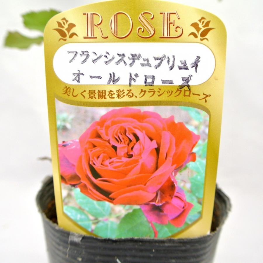 バラ苗 オールドローズ【フランシス デュブリュイ】3.5号ロングポット ばら 新苗 四季咲き|rose-factory