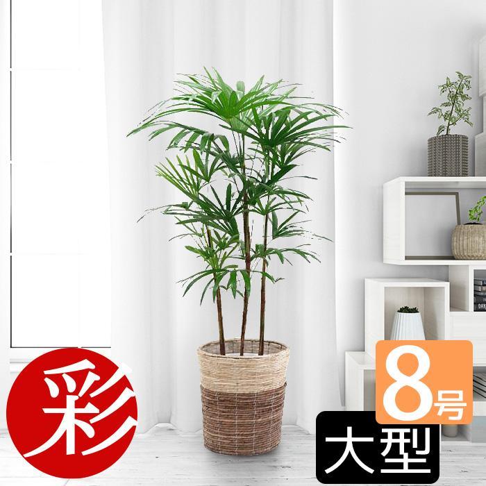 観葉植物 棕櫚竹 シュロチク 8号 鉢カバー 付き セット 和モダン 大型 室内用 インテリア おしゃれ 通販 人気|saisyokukenbi
