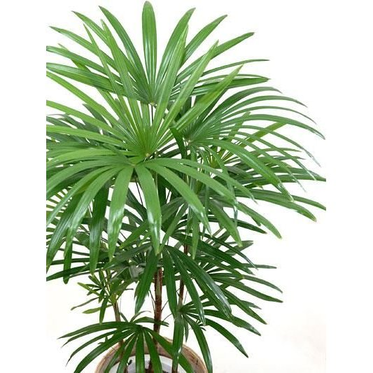 観葉植物 棕櫚竹 シュロチク 8号 鉢カバー 付き セット 和モダン 大型 室内用 インテリア おしゃれ 通販 人気|saisyokukenbi|02