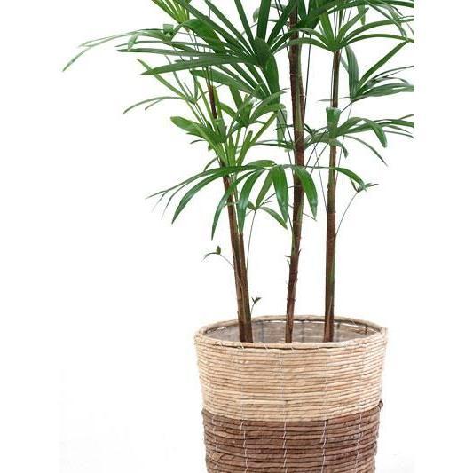 観葉植物 棕櫚竹 シュロチク 8号 鉢カバー 付き セット 和モダン 大型 室内用 インテリア おしゃれ 通販 人気|saisyokukenbi|03
