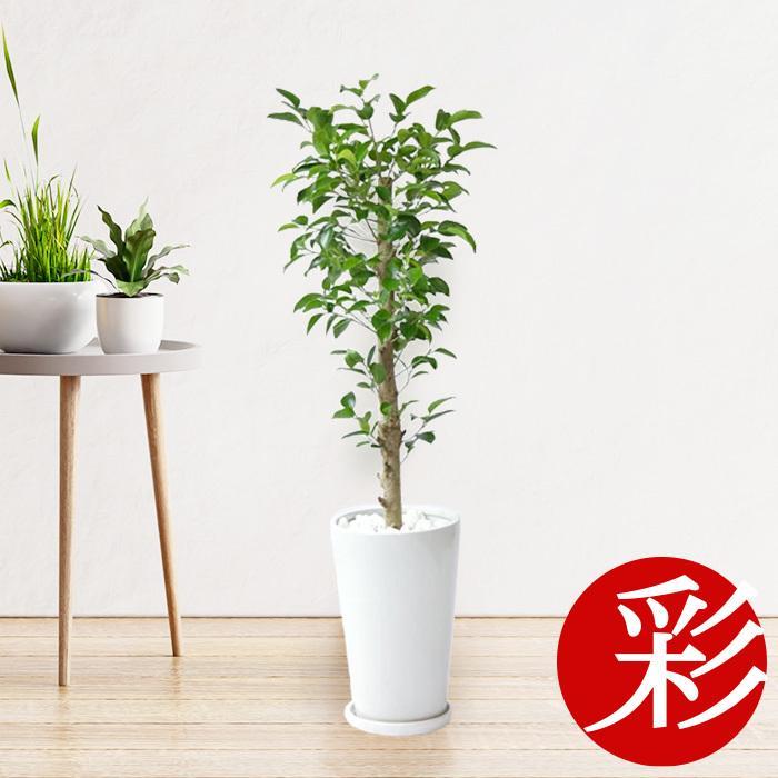 観葉植物 ガジュマル シャイニーホワイト ラウンドポット 誕生日/お祝い 室内 インテリア 多幸の木 新作 おしゃれ 父の日