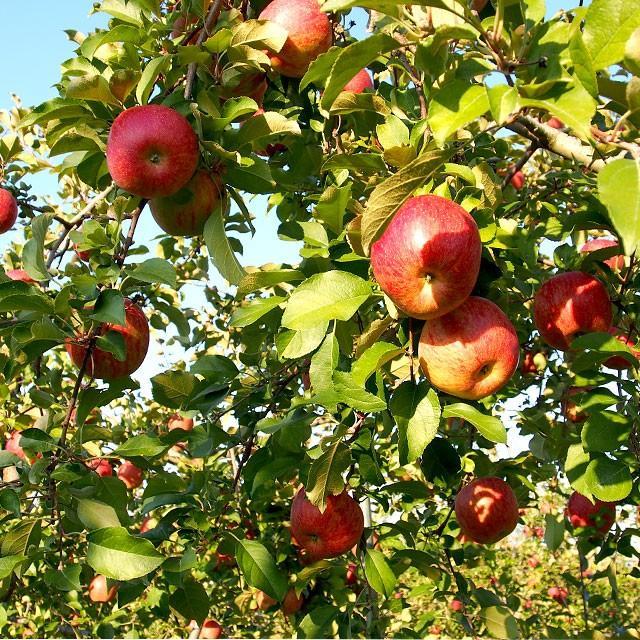 岩手県より産地直送 JAいわて中央 皮ごとまるごと!特別栽培りんご 5 キロ (14玉から25玉) 林檎 リンゴ 送料無料 sanchokudayori 03