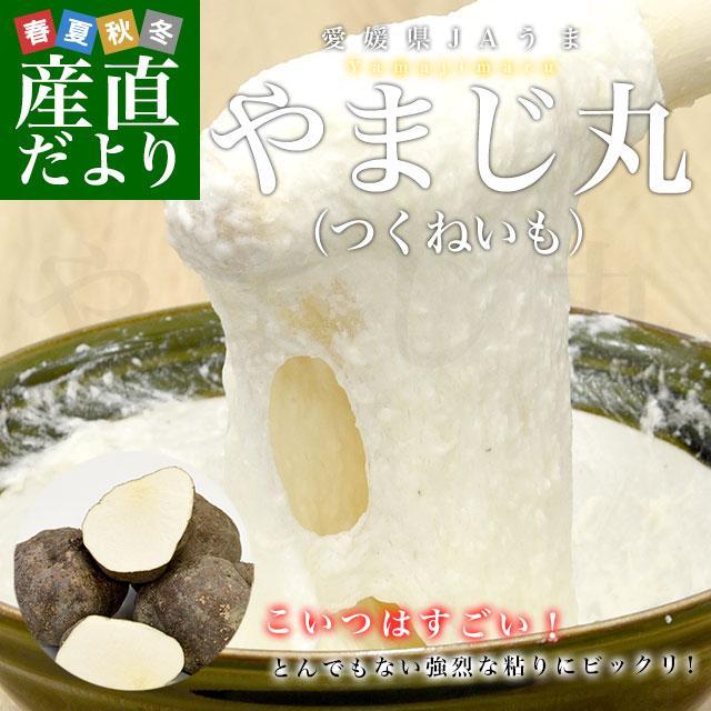 愛媛県より産地直送 四国中央JAうま 山の芋 やまじ丸 2キロ (4玉から5玉)  送料無料 やまじ王 ヤマジ やまのいも つくねいも 宇摩農協|sanchokudayori