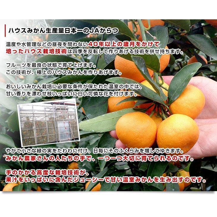 送料無料 佐賀県より産地直送 JAからつ ハウスみかん 3Sサイズ  約1.2キロ(約30玉) 蜜柑 ミカン|sanchokudayori|05