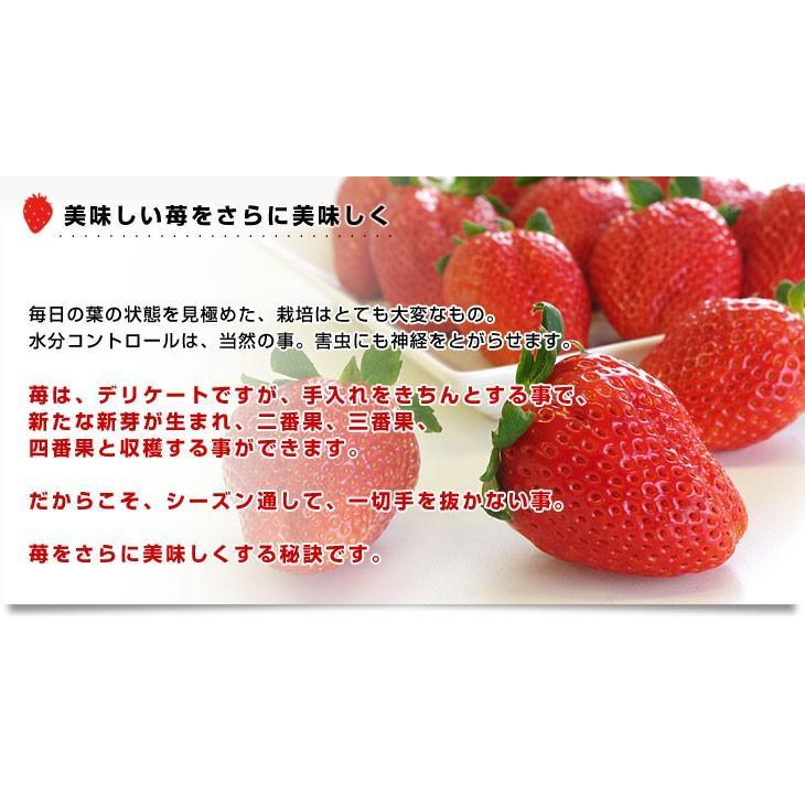 栃木県より産地直送 JAおやま スカイベリー 約300g×2P(6から12粒×2P) 送料無料 いちご イチゴ 苺  ※クール便発送|sanchokudayori|06