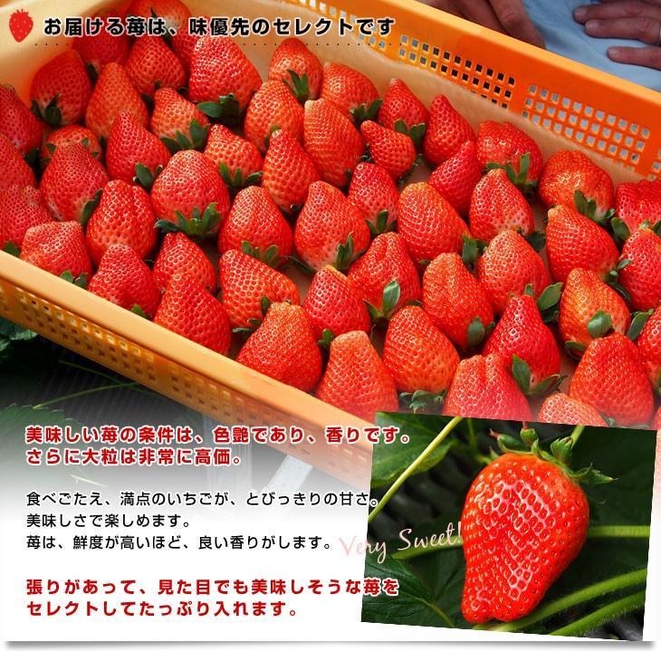 栃木県より産地直送 JAおやま スカイベリー 約300g×2P(6から12粒×2P) 送料無料 いちご イチゴ 苺  ※クール便発送|sanchokudayori|07