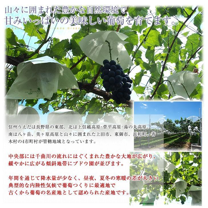 送料無料 長野県より産地直送 JA信州うえだ シャインマスカット 合計1.2キロ(大房2房入り)ぶどう 葡萄|sanchokudayori|05