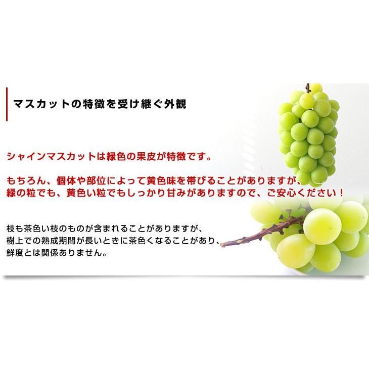 山梨県産 シャインマスカット 1.2キロ (大房2房) 送料無料 ぶどう 葡萄 種無し 皮ごと 話題のぶどう sanchokudayori 05