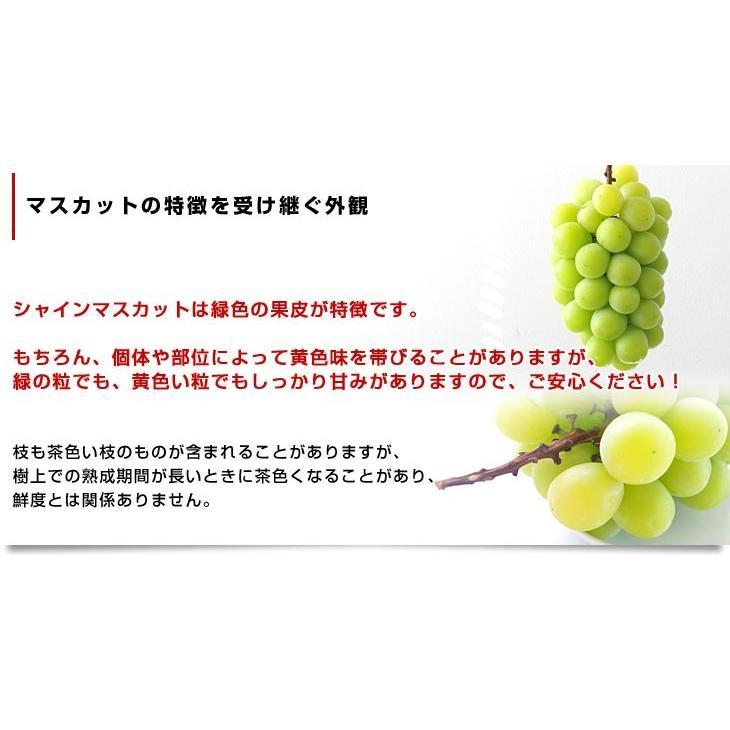 山梨県または長野県産 シャインマスカット1.2キロ(2房から3房)送料無料 ぶどう 葡萄 種無し 皮ごと食べれるぶどう sanchokudayori 05