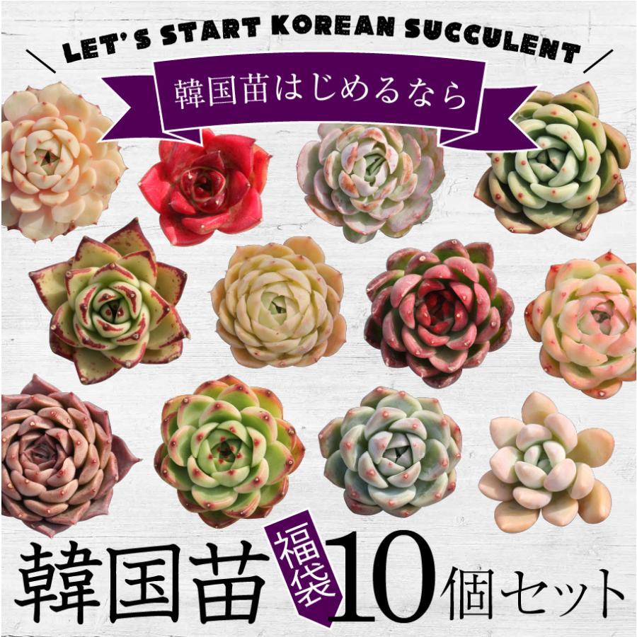国内送料無料 多肉植物 商い 韓国苗10個セット 届いてからのお楽しみ韓国苗福袋 ※種類は選べません