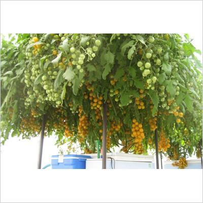 【水耕栽培キット】  ホームハイポニカ 303 おまけ付き 果菜・葉菜両用 冬は葉菜の栽培がオススメ sessuimura 04