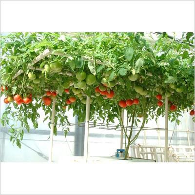 【水耕栽培キット】  ホームハイポニカ 303 おまけ付き 果菜・葉菜両用 冬は葉菜の栽培がオススメ sessuimura 06