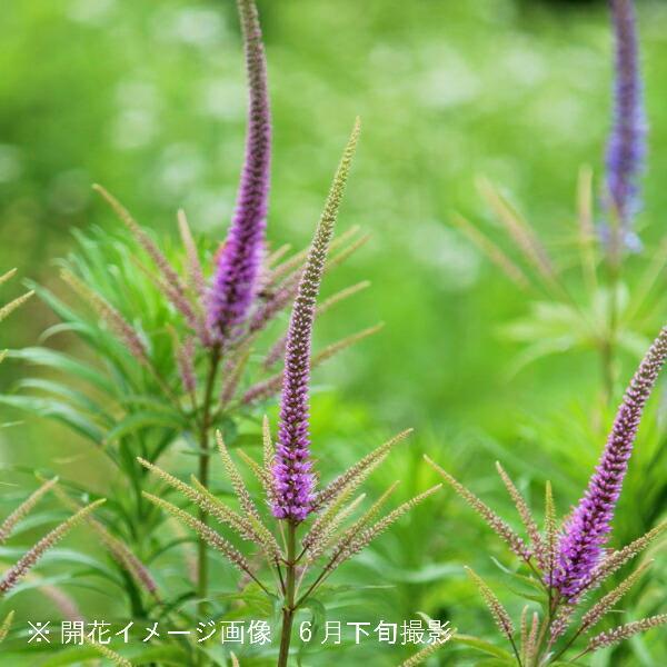 (100ポット)桃花クガイソウ 9cmポット苗100ポットセット 山野草/耐寒性多年草/九階草