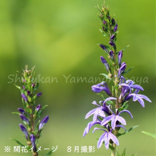 (100ポット)サワギキョウ 9cmポット苗100ポットセット 湿地植物/耐寒性多年草/沢桔梗