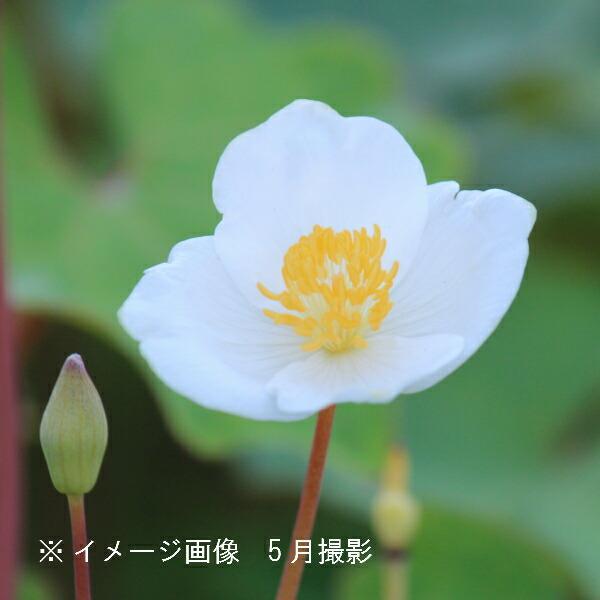 (100ポット) シラユキゲシ 10.5cmポット仮植え苗100ポットセット/