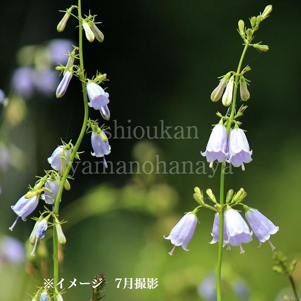 (100ポット)ツリガネニンジン 9cmポット苗100ポットセット 山菜苗/耐寒性多年草/トトキ