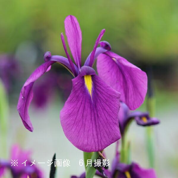 (100ポット)ノハナショウブ 10.5cmポット苗100ポットセット 湿地植物/耐寒性多年草/野花菖蒲