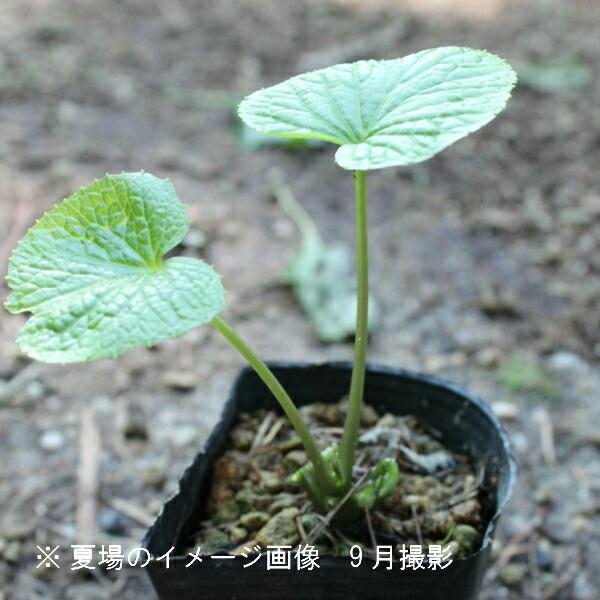 (100ポット)ハタケワサビ 9cmポット苗100ポットセット 山菜苗/耐寒性多年草/畑山葵