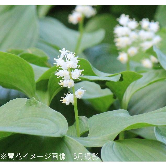 (100ポット)マイヅルソウ 9cmポット3芽植え苗100ポットセット 山野草/耐寒性多年草/舞鶴草