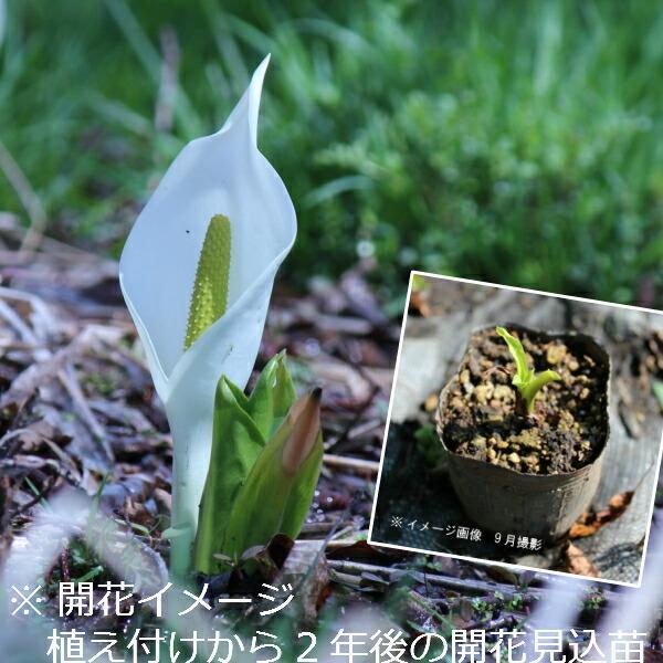 (100ポット)ミズバショウ 9cmポット苗100ポットセット 湿地植物/耐寒性多年草/水芭蕉