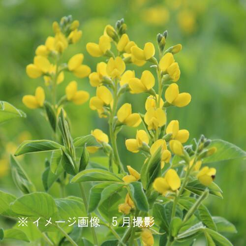 (100ポット)黄花センダイハギ 9cmポット苗100ポットセット 山野草/耐寒性多年草